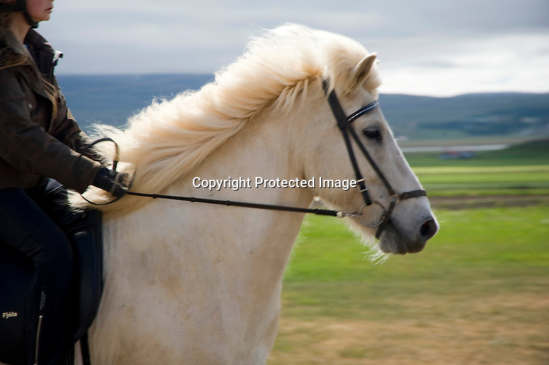 Moving Rider and Icelandic Horse at Flugumyri Horse Farm in North Iceland