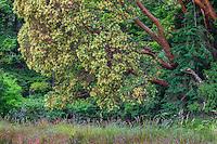 WASJ_D108 - USA, Washington, San Juan Island National Historical Park, English Camp, Pacific madrone trees bloom alongside Douglas fir.