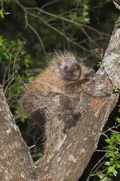 North American Porcupine, Erethizon dorsatum, adult climbing Texas Oak (Quercus buckleyi),Uvalde County, Hill Country, Texas, USA