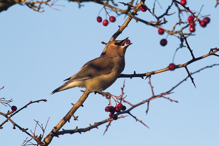 Cedar Waxwing, Bombycilla cedrorum Vieillot, winter feeding on berries, Port Townsend, Fort Worden, Jefferson County, Washington State, Pacific Flyway, Pacific Northwest, Western Washington birds,