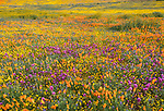 Antelope Valley, California: Poppies, coreopsis and Owl's clover blooming in fields near Lancaster, Los Angeles County, Mojave Desert