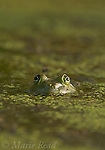 Bullfrog (Rana catesbeiana) close-up of face surrounded by pondweed, New York, USA