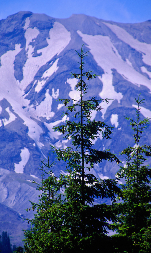 Mt. St. Helens amd Tree, Mt. St. Helens National Volcanic Monument, Washington, US
