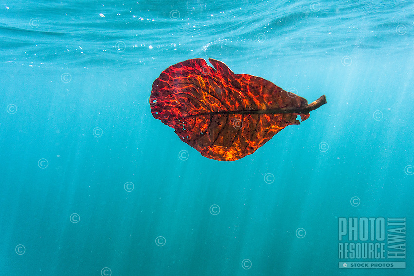 Sun rays vividly light up an orange leaf floating underwater, O'ahu.