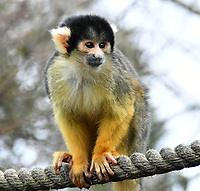 Black-capped squirrel monkeys at London Zoo stocktake<br /> Annual stocktake of every creature in the zoo, spanning 850 species, postponed from January after a fire in just before Christmas last year, in which a number of animals died, at London Zoo <br /> London Zoo Stocktake photocall, London, England on February 07, 2018.<br /> CAP/JOR<br /> &copy;JOR/Capital Pictures