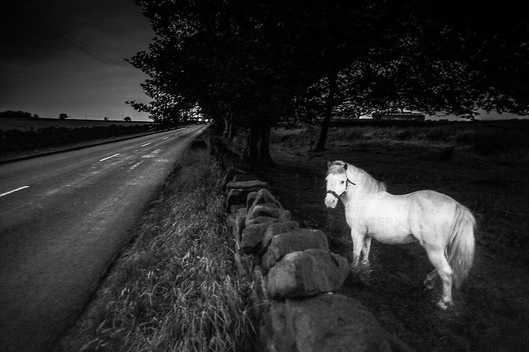 Evening twilight shot of a ghostly white pony in a field adjacent to a road., car headlamps approaching. Near Slaithwaite West Yorkshire England