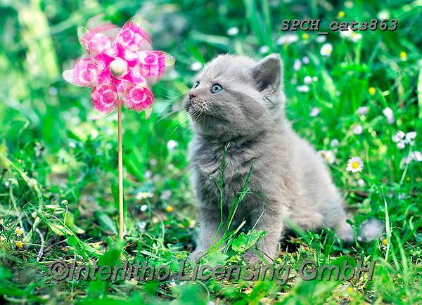 Xavier, ANIMALS, REALISTISCHE TIERE, ANIMALES REALISTICOS, cats, photos+++++,SPCHCATS863,#a#, EVERYDAY