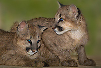 656320011 female captive wildlife rescue mountain lion cubs zuni and kaya felis concolor at the wildlife waystation wildlife recovery and care facility in southern california