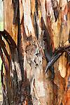 Peeling Bark of Tree, Sierra de Andujar Natural Park, Sierra Morena, Andalucia, Spain