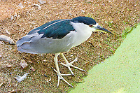 Black-Crowned Night-Heron, Arizona, USA
