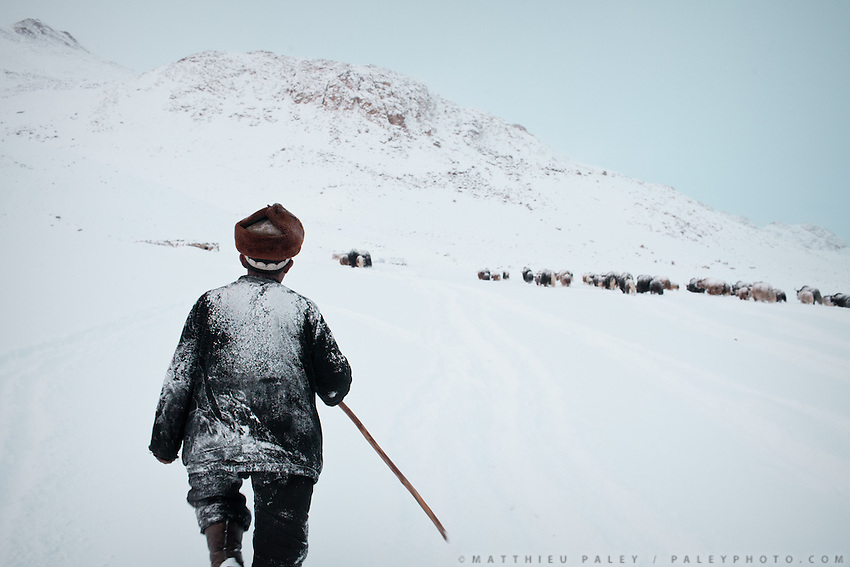 Shepherd follows the yak herd returning to camp..Ech Keli, Er Ali Boi's camp, one of the richest Kyrgyz in the Little Pamir...Trekking with yak caravan through the Little Pamir where the Afghan Kyrgyz community live all year, on the borders of China, Tajikistan and Pakistan.