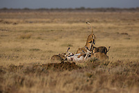 Lioness hunt at Charitsaub Water Hole in Etosha, Namibia