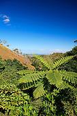 Fougère arborescente de la chaîne, Nouvelle-Calédonie