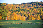 Herd of Cows Grazing during Fall Season in Walpole, New Hampshire USA