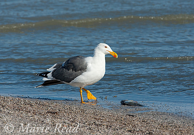 Yellow-footed Gull (Larus livens), Salton Sea National Wildlife Refuge, California, USA