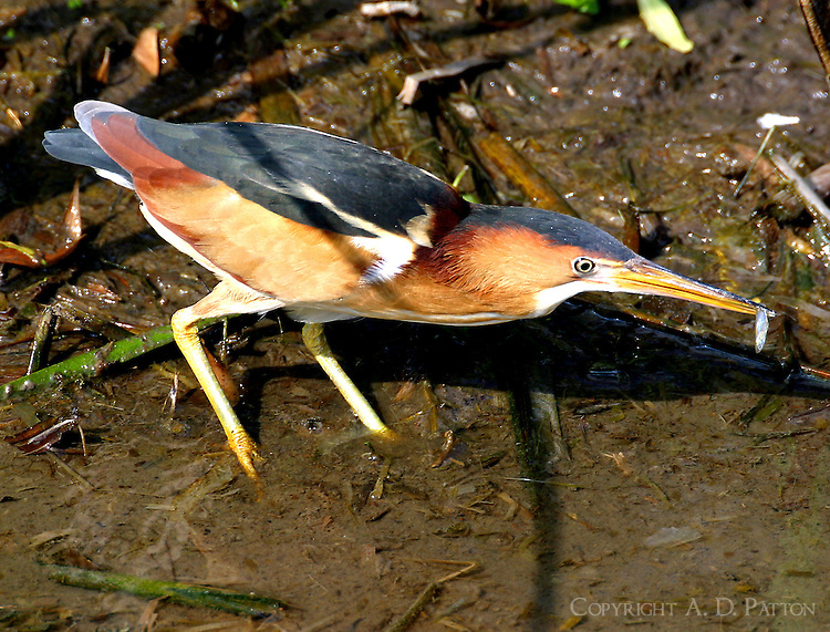 Least bittern adult male with minnow at Birding Center pond