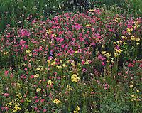 Wildflowers in Mt. Rainier National Park, Washington