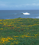 The headlands near Pudding Creek, Fort Bragg.  Wildflowers and surfers.