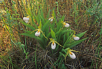 Small White Lady's Slipper Orchids