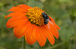 Black Fly on Tithonia, Flower Fly, Syrphid, Mexican Cactus Fly, Copestylum mexicanum, Mexican Sunflower, Tithonia diversifolia, Descanso Gardens, Southern California