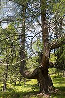 Lärche, Europäische Lärche, im Bergwald, Stamm, Rinde, Borke, Larix decidua, European Larch, Larch, bark, rind, trunk, stem, Le Mélèze d'Europe, Mélèze commun,  Le Mélèze