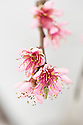 Blossom of Peach 'Royal George', glasshouse, early March.