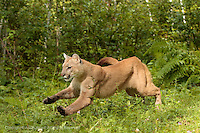 Adult Mountain Lion running through woods Puma concolor<br /> (Controlled Situation) Minnesota