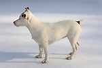 Jack Russel Terrier in snow.