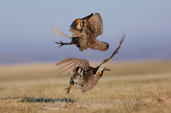 Aggressive encounter between two male Greater Prairie-Chickens on a lek. During aggressive encounters males lower their pinnae feathers, deflate their air sacs, leap into the air, and strike their opponent with feet, wings, and/or beak. Ft. Pierre National Grassland, South Dakota.