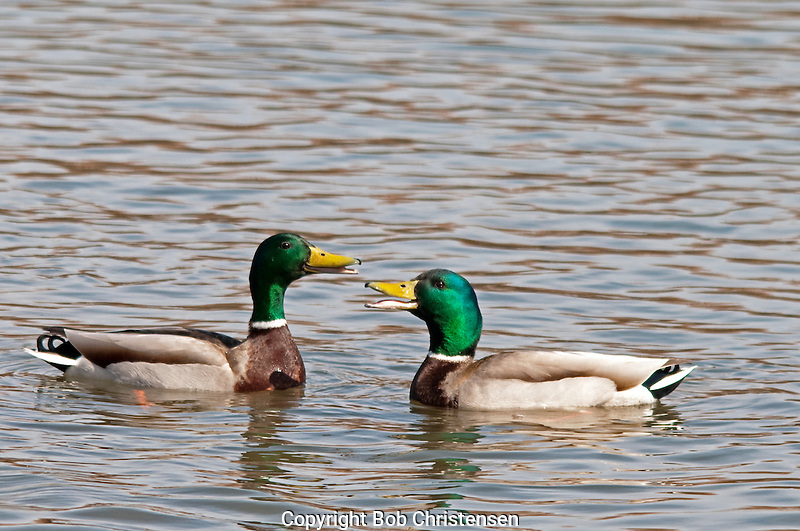 Montana waterfowl photos
