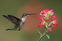 Ruby-throated Hummingbird (Archilochus colubris), female feeding on Texas Paintbrush (Castilleja indivisa), Fennessey Ranch, Refugio, Coastal Bend, Texas, USA