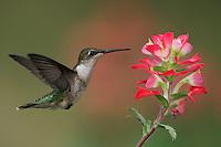 Ruby-throated Hummingbird (Archilochus colubris), female feeding on Texas Paintbrush (Castilleja indivisa), Fennessey Ranch, Refugio, Coastal Bend, Texas, USA