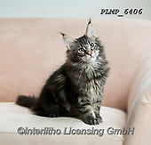 Marek, ANIMALS, REALISTISCHE TIERE, ANIMALES REALISTICOS, cats, photos+++++,PLMP6406,#a#, EVERYDAY