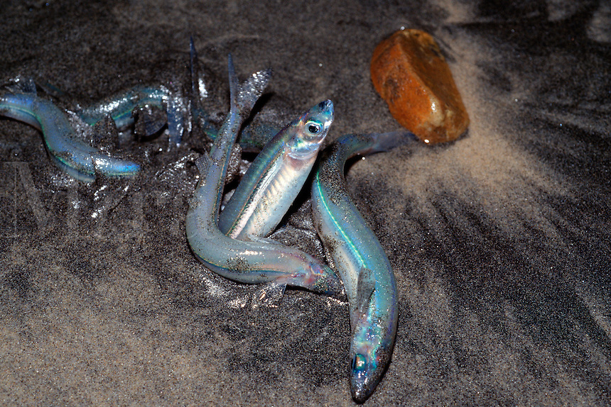California grunion, Leuresthes tenuis, is one of the only fishes to leave the water to spawn on sandy beaches at night, after a full moon, California, Pacific Ocean
