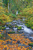 ORCG_D217 - USA, Oregon, Columbia River Gorge National Scenic Area, Gorton Creek in autumn is bordered by colorful shrubs, fallen leaves of bigleaf maple and mossy rocks. Emerald Falls appears in the background.