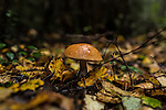 An aspen mushroom pokes through the forest floor on Saturday, August 24, 2013 in Suzdal, Russia.