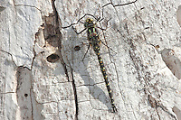 Harlequin Darner (Gomphaeschna furcillata) Dragonfly - Male perching on the trunk of a maple tree, Ward Pound Ridge Reservation, Cross River, Westchester County, New York