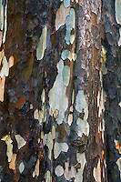 Close up of a gumtree bark