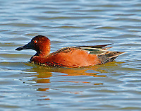 Adult male cinnamon teal in breeding plumage