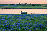Texas Bluebonnets at dusk in a rural setting. This pond  or tank on this farm had some nice bluebonnets up to the waters edge near the pier with the pink and orange sky in the distance  background of these bluebonnet wildflower on the farm.