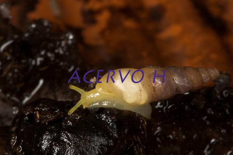 O Subulinidae, conhecido como caracol de jardim em quintal de casas na grande Belém.<br />  <br /> Subulinidae é uma família de pequenos caracóis terrestres de respiração aérea, moluscos de gastrópodes pulmonares terrestres na superfamília Achatinoidea