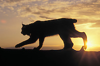 LYNX at sunrise. Spring. Rocky Mountains. North America.( Felis lynx canadensis).