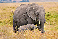 African Elephant mother with young calf out on the grassland plains of the Serengeti/Masai Mara.