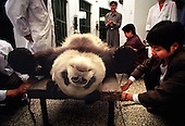 Veterinarians tie down a male panda for sperm extraction...Photo taken in Chengdu, China in 1999. The picture is part of a photo and text documentary on the artificial insemination of giant pandas by Justin Jin. For more information, email justin@justinjin.com