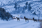Rocky Mountain Elk (Cervus elaphus nelsoni) females crossing road in winter, Yellowstone National Park, Montana