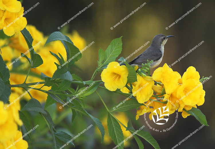 Stock photo: Sunbird sitting on the branch of a yellow bell flowers tree.