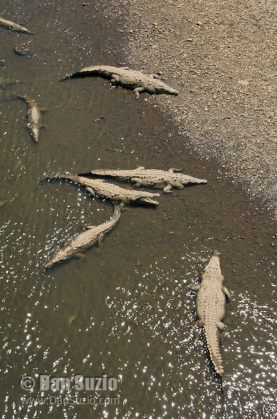 American crocodiles, Crocodylus acutus, basking at the shore of the Tarcoles River, Costa Rica