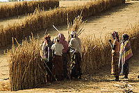 Women using millet stalk to protect thier field from the sand