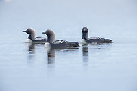 Three Pacific Loons float accross a tundra pond.