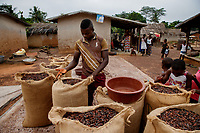 A worker fills sacks with dried cocoa beans at Lucienkro camp.